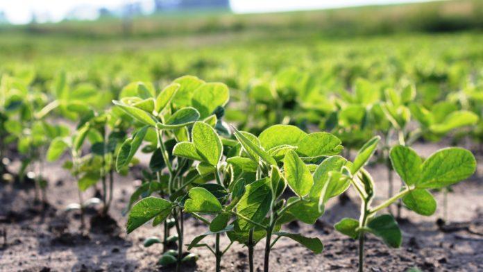 El monitoreo del cultivo de soja es fundamental.