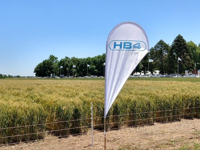 """Afirman que con el trigo transgénico """"el daño que se produciría al mercado de trigo argentino sería irreparable e irreversible""""."""