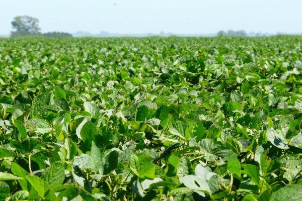 o campo de soja