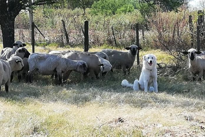 perro oveja