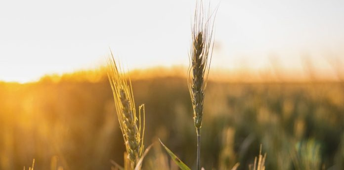 el trigo con entrega disponible qpaugjwpe 1256x620 1
